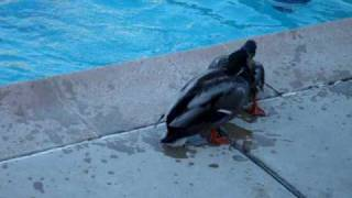 Video Two wild ducks fighting over a mate in my back yard ..........for a long time download MP3, 3GP, MP4, WEBM, AVI, FLV Juli 2018