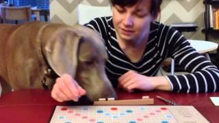 Weimaraner Plays Scrabble