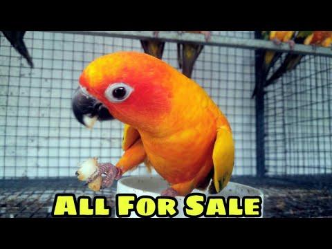 Sun Conure And Sun Conure Chicks for Sale At Indias Largest Exotic Birds  Farm Tamilnadu