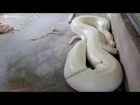 KYO & Trăn 'khủng' toàn thân màu trắng ở miền Tây