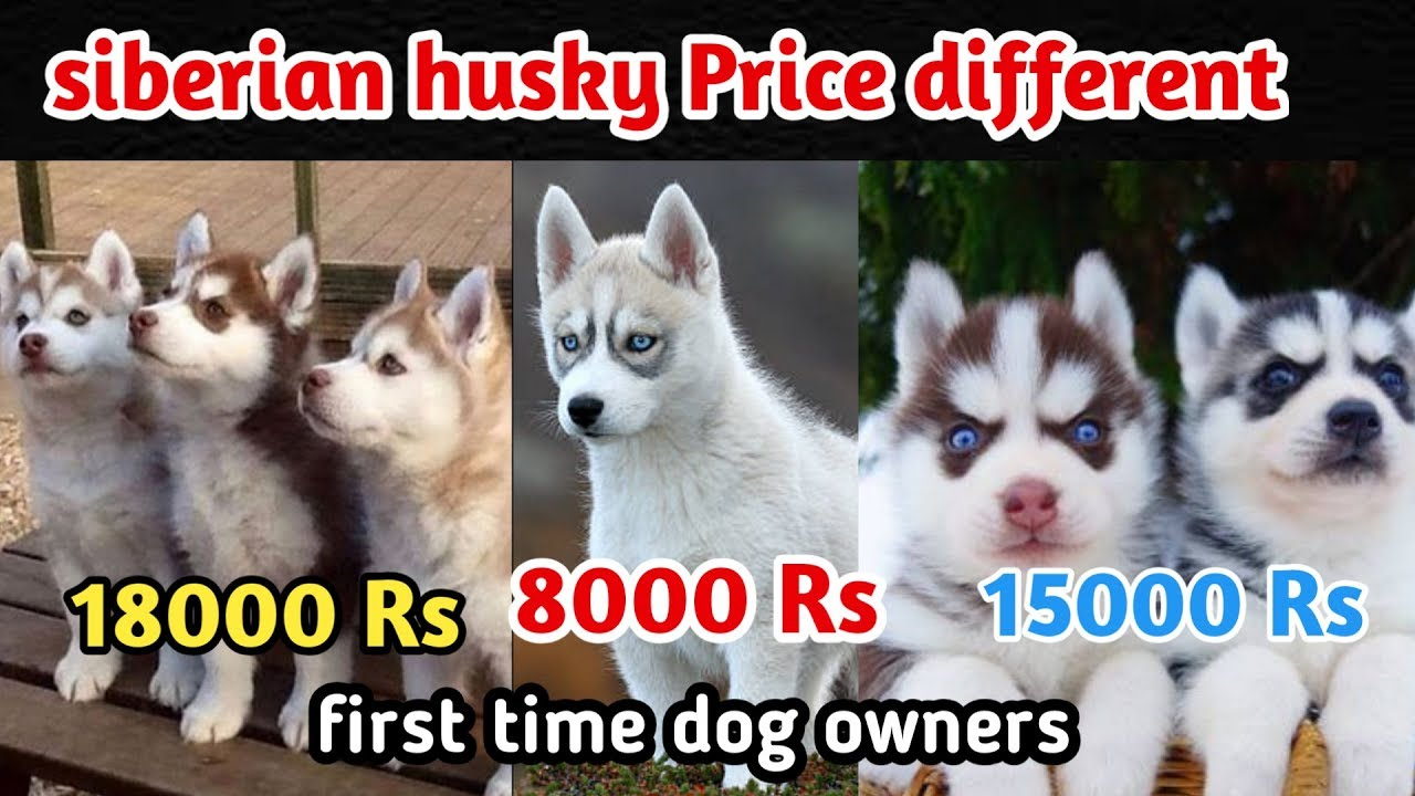 Sibiryan Husky Price Difference Sibiryan Husky For First Time Owner Puppy Price Youtube