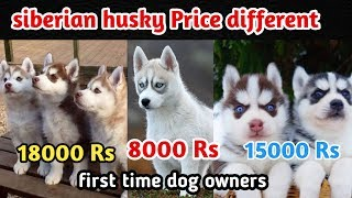 Siberian husky price difference / Siberian husky for first time owner / Puppy Price