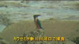 カワセミが新川川河口で捕食
