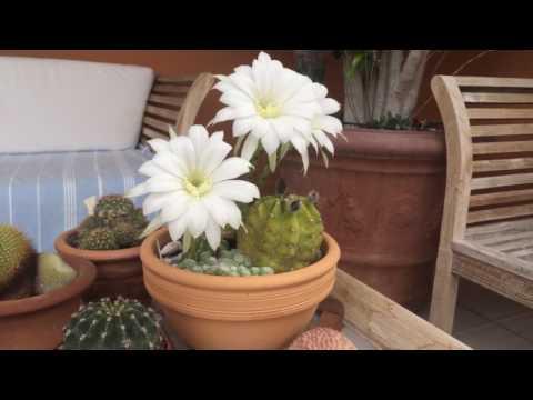 Echinopsis subdenudatus. Уход за кактусом Эхинопсис.
