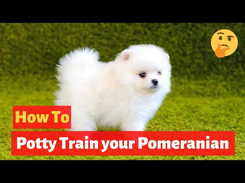 How to easily potty train Pomeranians? Easy yet Effective Training method