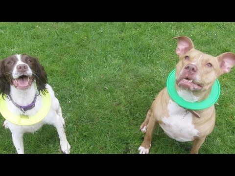 Pit Bull Mia & Springer  Marley, nearly have a fall out.