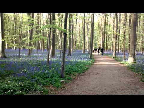 Hallerbos - April 2016 Bluebells in Belgium