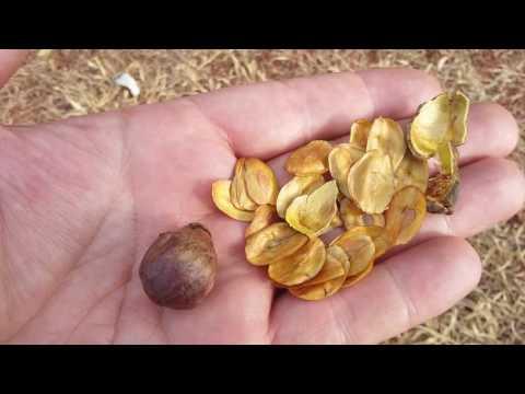 Graines de Lafoensia pacari, Dedaleiro, (photos prisent en aout à Brasilia, Brésil)