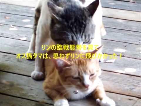 猫オモシロ映像 大全集! あなたの知らない猫世界~オス猫タマ大活躍 13分(猫の発情と交尾大研究!去勢したメス猫は雄のいじめに遭う)