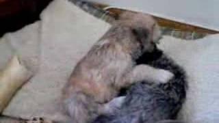 Shih Tzu X Pups, 6 1/2 Weeks Old, Nonshedding,winnipeg,mb