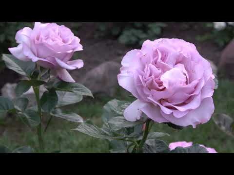 Подмосковье. Июнь. Цветение роз!