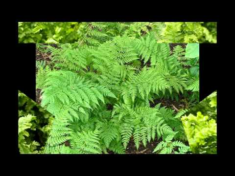 Щитовник - Папоротниковый сад
