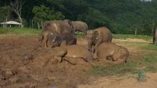 Baby elephant mud bath (Crazy mud fun)