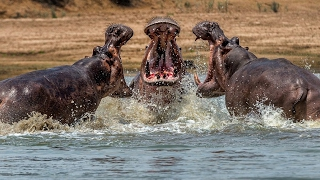 The Incredible Fight Between Male Hippos Over Territory - Wildlife Documentary
