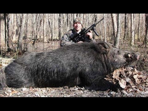Giant Wild Pigs animal planet 2016 Nature documentary HD ... Giant Wild Boar Photos