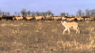 Собаки ведут овец на пастбище
