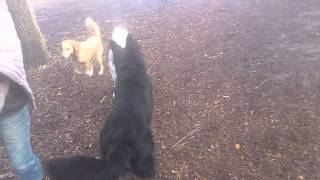 My German Shepherd At Dog Park London Ontario