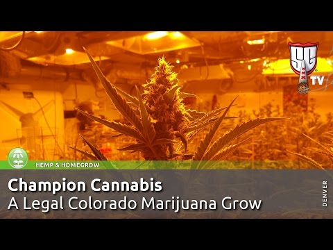 Champion Cannabis - Award Winning, Legal Colorado Marijuana Grow - Smokers Guide TV Colorado