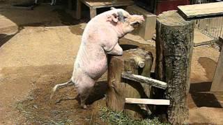 Mating practice.Swine.豚の交尾練習。Saitama Children's Zoo.埼玉県こ...