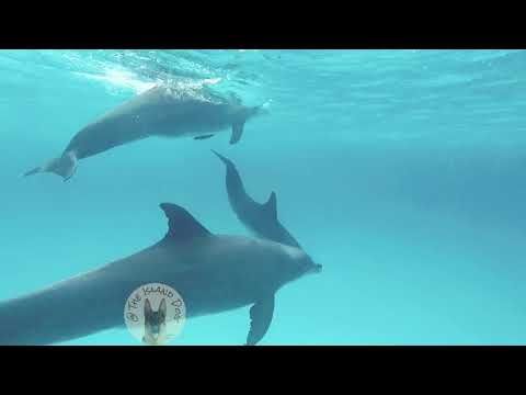 The Island Dog: Swimming with dolphins