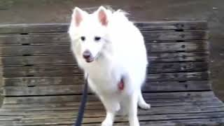 20080414 171159 American Eskimo Dog Eskie Virual Dog Walk エスキー ...