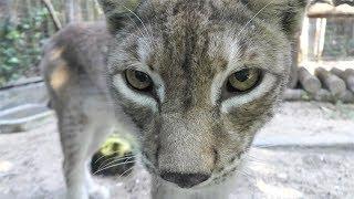 オオヤマネコ,上海動物園,Lynx,Shang Hai Zoo,China,中華人民共和国,猞猁,上海动物园