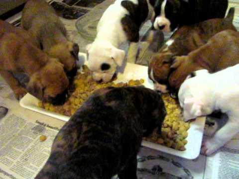 Boxer Puppies Having A Morning Feeding.