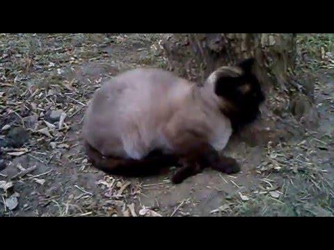 Сиамский кот в ударе