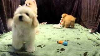 Female Pomeranian, Poodle, And Maltipoo Puppy For Sale In Boca Raton