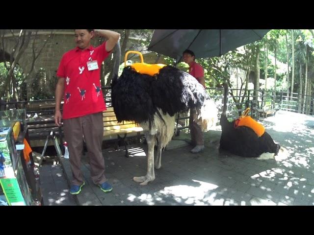 Сколько стоит покататься на страусе?