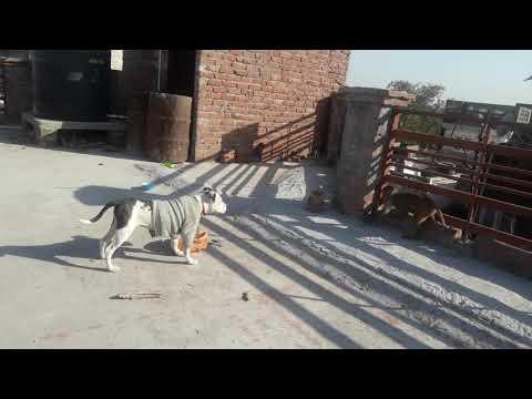 Pitbull Dog Vs Monkey Fight