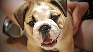 Super Adorable Puppies SO CUTE | Try Not To AWW Challenge