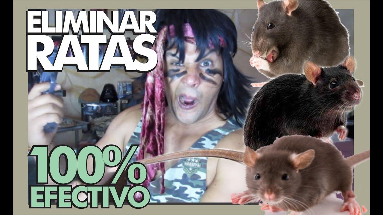 Como eliminar ratones en casa fabulous como eliminar ratones en casa with como eliminar ratones - Como alejar las ratas de la casa ...