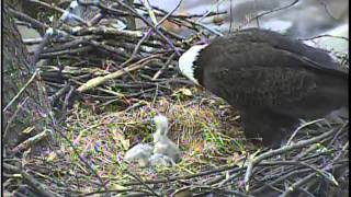 3rd eaglet hatches at Pittsburgh Hays nest