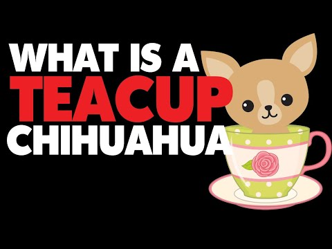 What Are Chihuahua Teacup Puppies | Sweetie Pie Pets