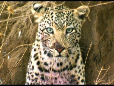 The Sneaky Leopard   Deadly 60   BBC Earth