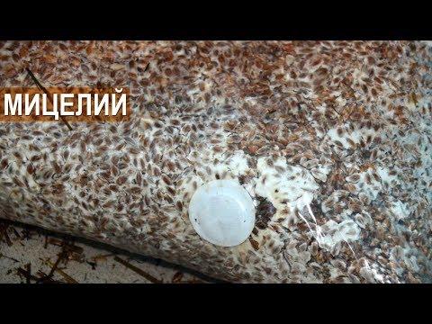 Мицелий вешенки в Воронеже (Грибоводство) - ООО Экосфера