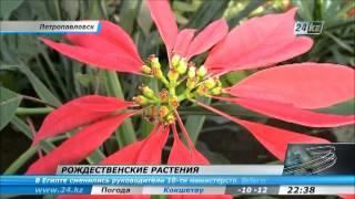 видео Первый урожай бананов собрали в Петропавловске