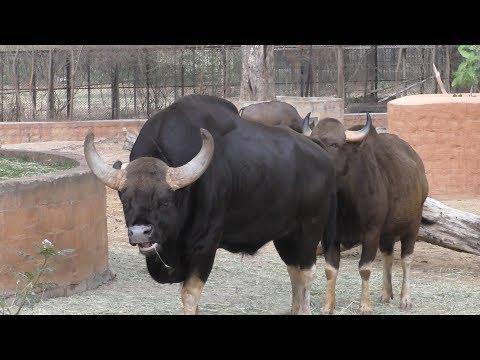 Endangered,   Massively Built  Indian Gaurs