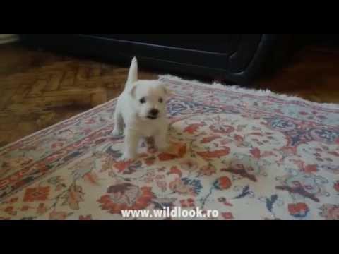 Westie puppy playing | Pui Westie la joaca