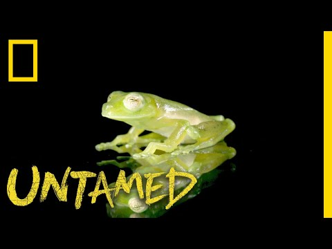 You Can See Through This Frog | Untamed