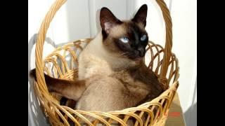 Самый лучший тайский кот!!!