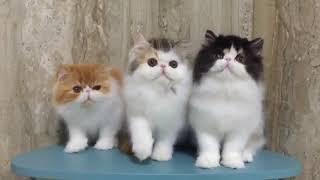 Persian Kittens Meowing | Cute Persian Kittens Playing