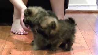 Gambar cover Fur and Paws - Purebred Pomeranian Munchkin and Tiny