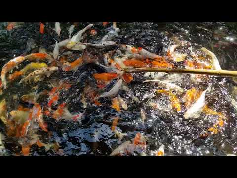Koi Fish Feeding   Langkawi Wildlife Park   Malaysia