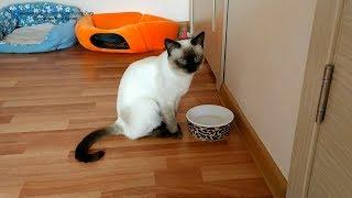 Тайский кот Калиостро в раздумье после утоления жажды! Тайские кошки - это чудо! Funny Cats
