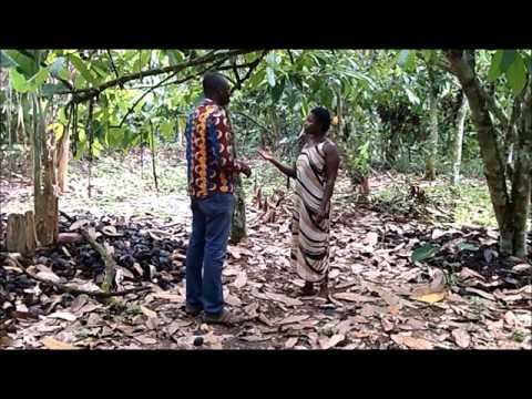 A success story of a Ghanaian Cocoa farmer after viewing Digital Green videos