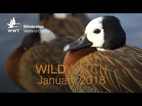 WWT WildWatch Slimbridge - January 2018