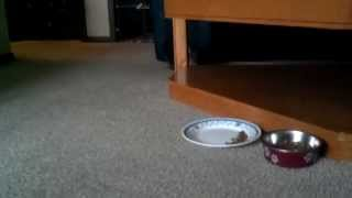 Cute And Funny Yorkie Eats Hard Food. Yorkshire Terrier .