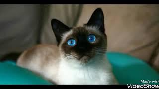 Сиамские кошки Слайд-шоу!